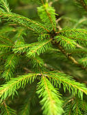Pine achtergrond — Stockfoto