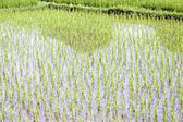 Chinese rice fields in Guilin — Stock Photo