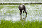China - farmer in rice field — Stock Photo