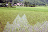 Rice fields with reflections — Stock Photo