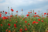 Poppy flowers in Poland — Stock Photo