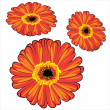 Red vector gerbera isolated on white background — Stock Vector