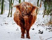 Highland Cow Single on Dutch Lowlands — Stock Photo