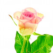 Single Rose Pink Bicolor — Stock Photo