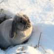 Stock Photo: Gray rabbit