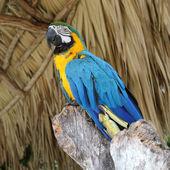 坐在分支上的金刚鹦鹉 — 图库照片