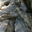crocodile farm — Stock Photo #28802507