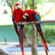 Scarlet macaw — Photo #28802541