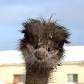 Emu. Sweet ostrich — Stock Photo
