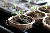Seedling grow indoor — Stock Photo