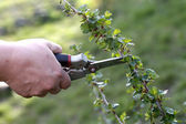 Pruning of bush with secateurs in the garden — Stock Photo