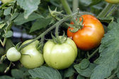 Red and green tomatoes grow on twigs — Stock Photo