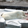 Sleeping white polar bear in zoo — Stok fotoğraf