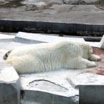 Sleeping white polar bear in zoo — Stock Photo