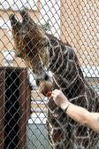 Karmienie żyrafa w zoo — Zdjęcie stockowe