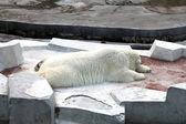 спящая белый полярный медведь в зоопарке — Стоковое фото