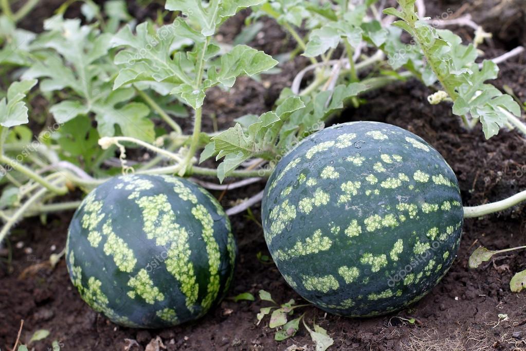 melon d'eau dans une plante de jardin-jeunes légume — Photographie ...