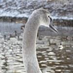 Gray Swan With Ducks — Stock Photo