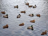 Group of Mallard Ducks Swmiming on Water — Stock Photo