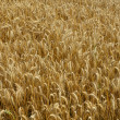 Golden Grain Field Background — Stock Photo