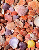 Flat and Colorful Sea Shells Background — Stock Photo