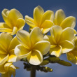 White frangipani against a blue sky — Stock Photo
