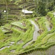 Stock Photo: Ricefield near Ubud, Bali, Indonesia