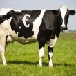 Dutch cow with spots in the shape of an Euro sign - Stock Photo