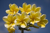 White frangipani against a blue sky — 图库照片