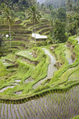 Ricefield near Ubud, Bali, Indonesia — Photo