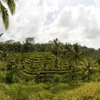 Rice paddies near Ubud in Bali, Indonesia - Stock Photo