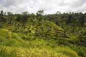 Rice paddies near Ubud in Bali, Indonesia — Stock Photo