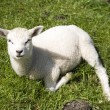 Stock Photo: Lamb in the meadow