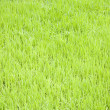 Stock Photo: Young rice plants growing in the Toraja area in Sulawesi