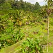 Stock Photo: Rice paddies near Ubud in Bali, Indonesia