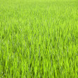 Stock Photo: Rice field near Ubud in Bali, Indonesia