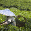 Tea picker on a tea plantation in Puncak, Java, Indonesia — Stock Photo