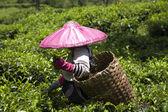 Tea pickers on a tea plantation in Puncak, Java, Indonesia — Stock Photo