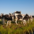 Stock Photo: Dutch cows in the meadow