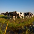 Dutch cows in the meadow — Stock Photo #19462849