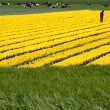 Field with yellow tulips in the Netherlands - Стоковая фотография