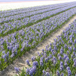 Field of hyacinths in the Netherlands - Стоковая фотография