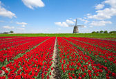 Windmill with red tulip field in the Netherlands — Stock Photo