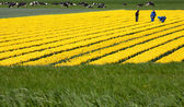 Field with yellow tulips in the Netherlands — Stok fotoğraf