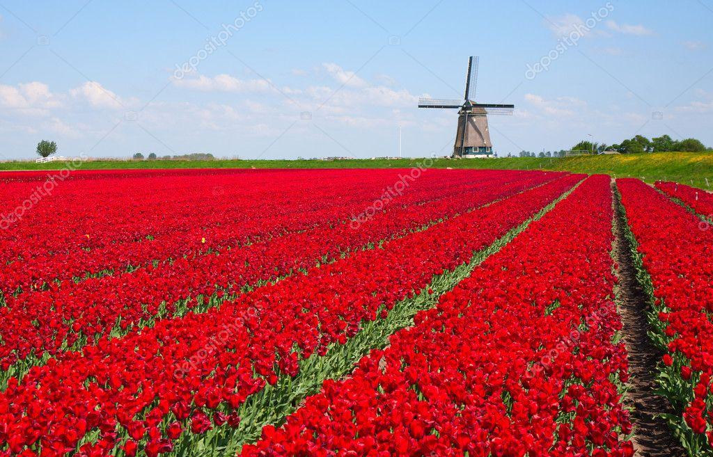 与红色郁金香字段在荷兰风车