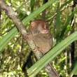 Philippine tarsier, Bohol — Stock Photo