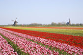 Tulip field and historic windmill — Stock Photo
