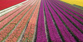 Dutch tulip field — Stock Photo