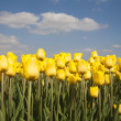 Yellow tulip field in the Netherland — Stock Photo