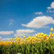 Stock Photo: Yellow tulip field in Netherland